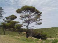 pine tree on a Greek landscape